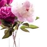 Pink Peonies + Highlights