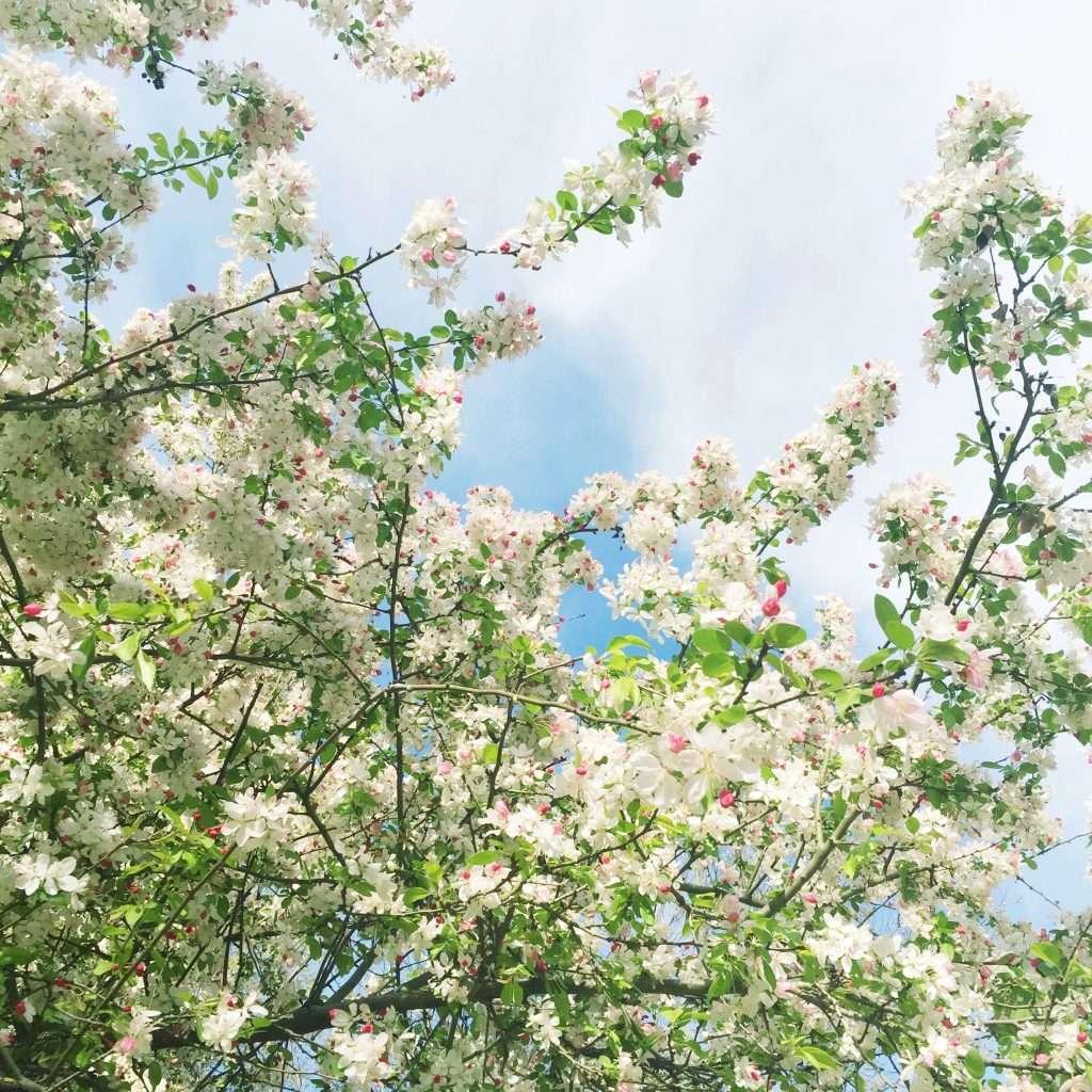 Atlanta Cherry Blossoms
