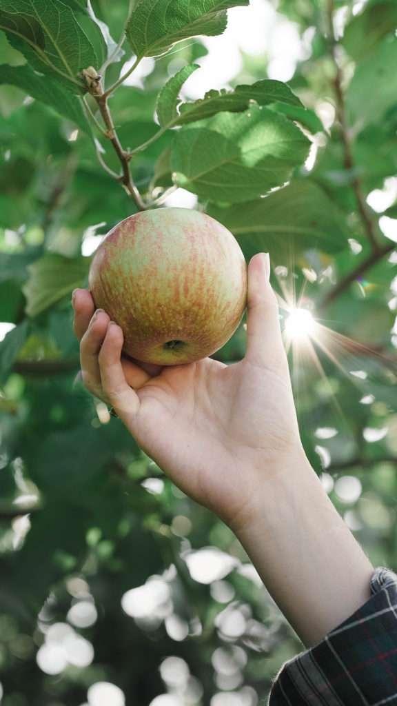 Apple Picking in North Carolina