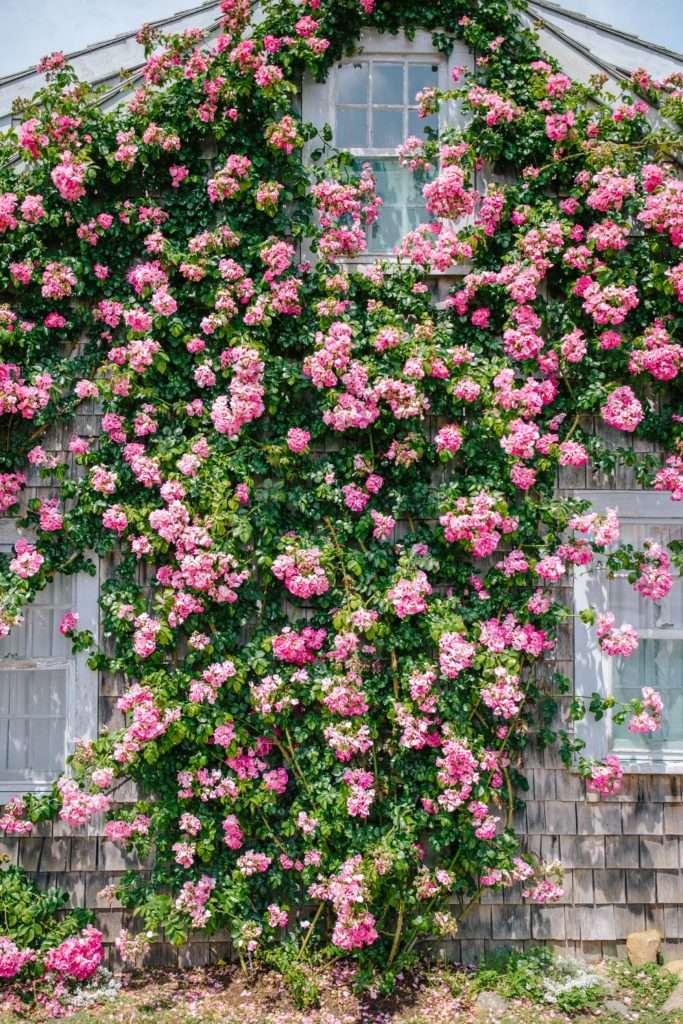 Pink climbing roses in Sconset, Nantucket // Rhyme & Reason