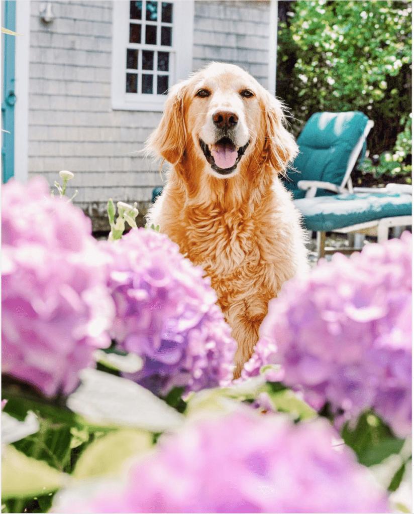 Yellow Labrador on Nantucket | Rhyme & Reason