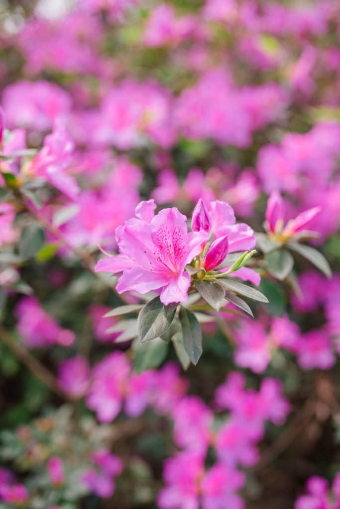 Azaleas in Charleston + Weekend Reads, No. 122 | Rhyme & Reason